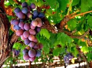 vinebranchgrapes-1
